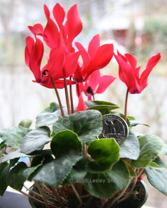 Tips On Growing Miniature And Micro Cyclamen Plants Digging In The