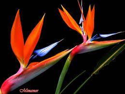 Resultado de imagen para flor ave de paraiso