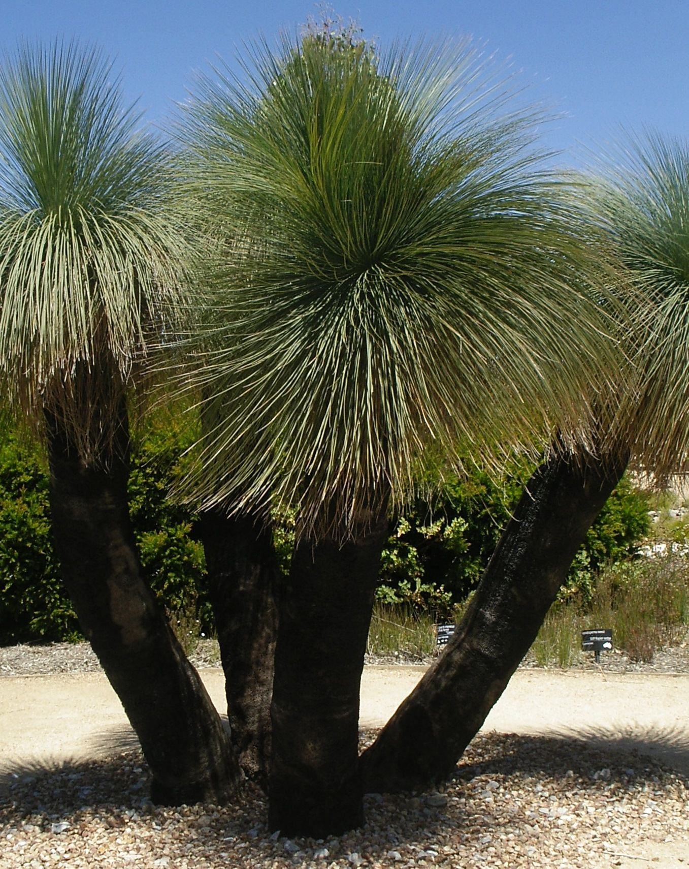 Image result for how old are grass trees