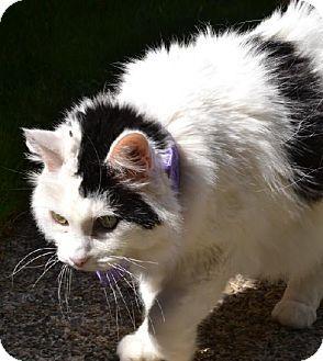 Issaquah Wa Turkish Angora Meet Ella A Cat For Adoption Catscatscats Cats Pets Adoption