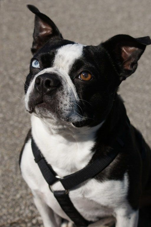 Wendel The Photogenic Brown And Blue Eyed Boston Terrier Dog