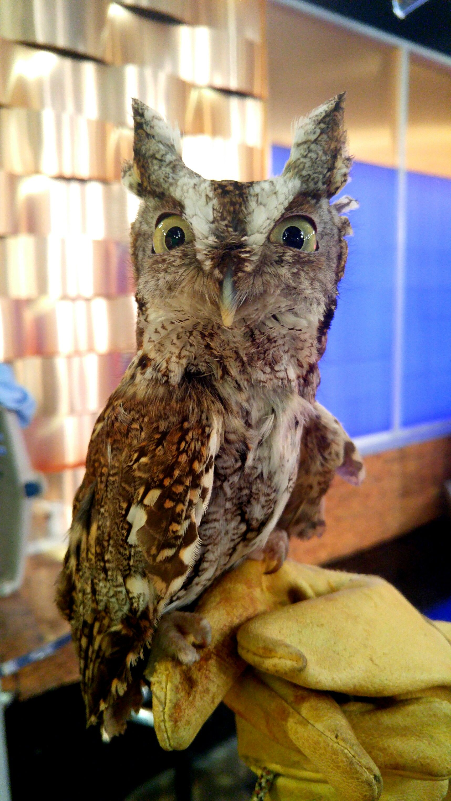 This Baby Screech Owl | Screech owl, Owl
