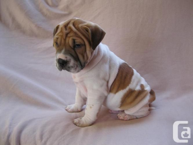 Shar Pei X Beagle Puppies Fur Mommy Beagle Puppy Shar