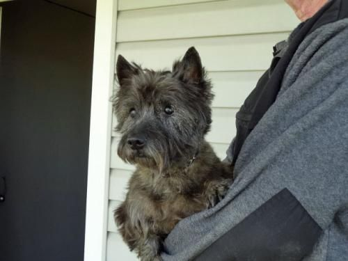 Felice Is An Adoptable Cairn Terrier Dog In Edgewood Tx We Re