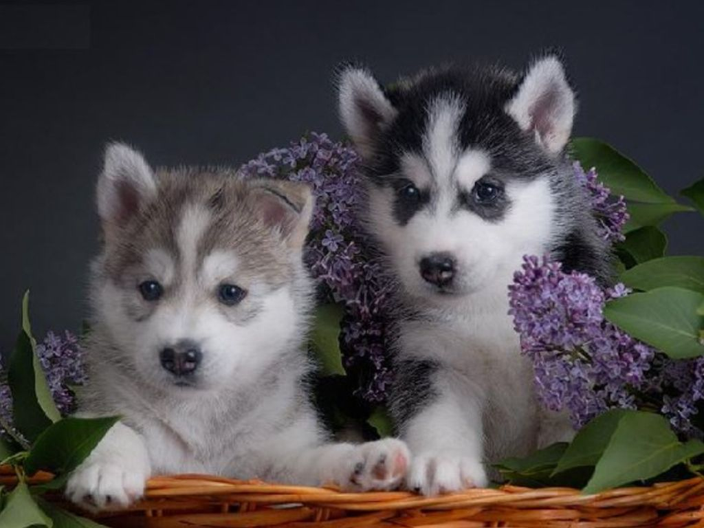 Flower Basket Of Husky Puppies Siberian Husky Puppies Husky