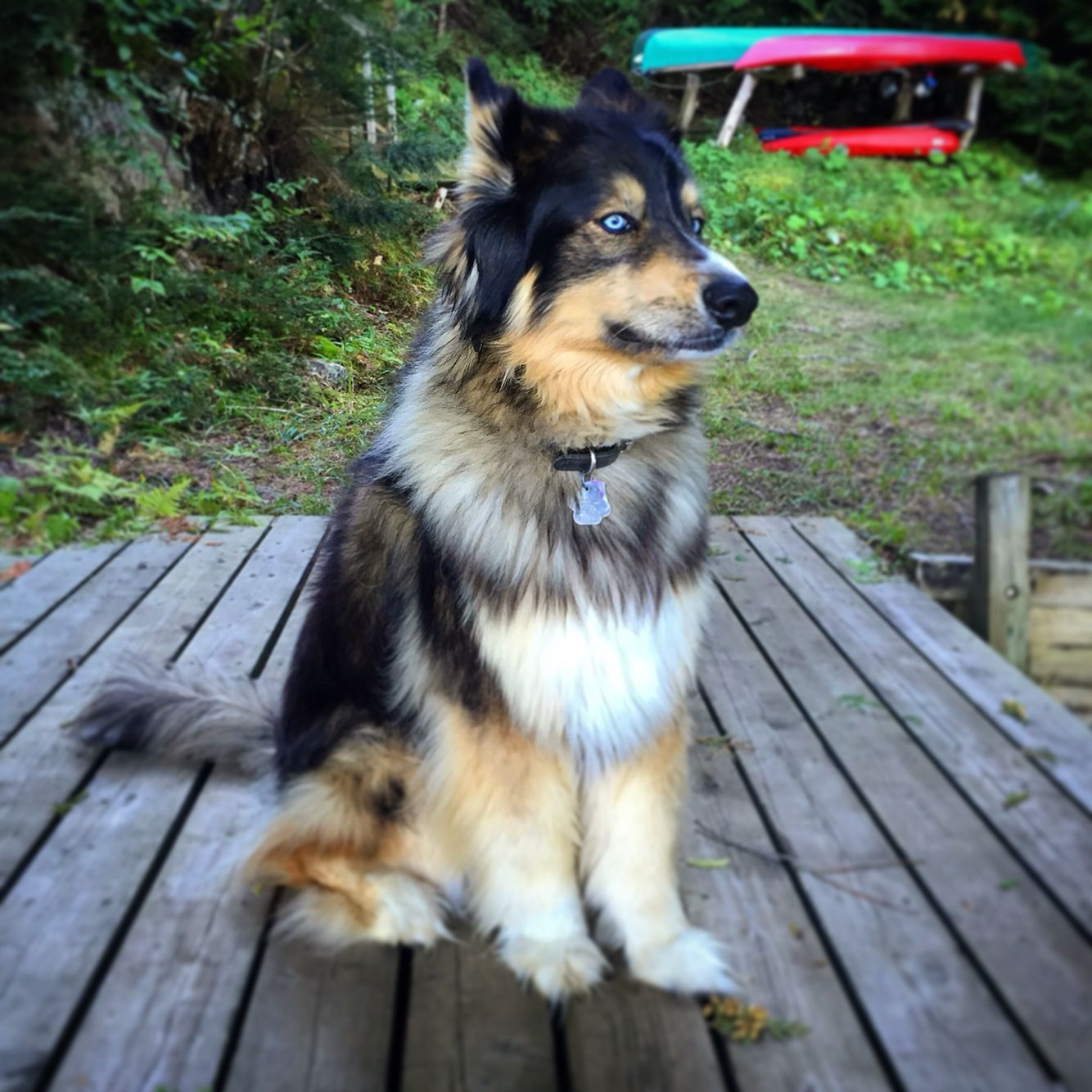 The Beautiful Zeva Husky Mixed With Bernese Mountain Dog She S