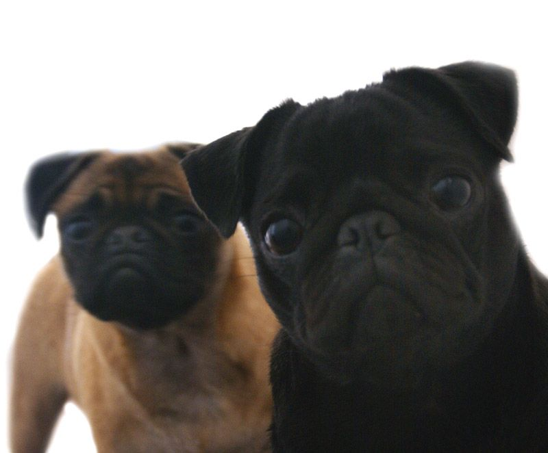 Hi We Are Penny Meg Pugs With Images Pug Puppies Pugs