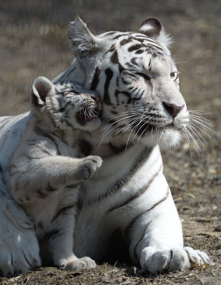 Les charmants tigres du Bengale blancs du zoo de N