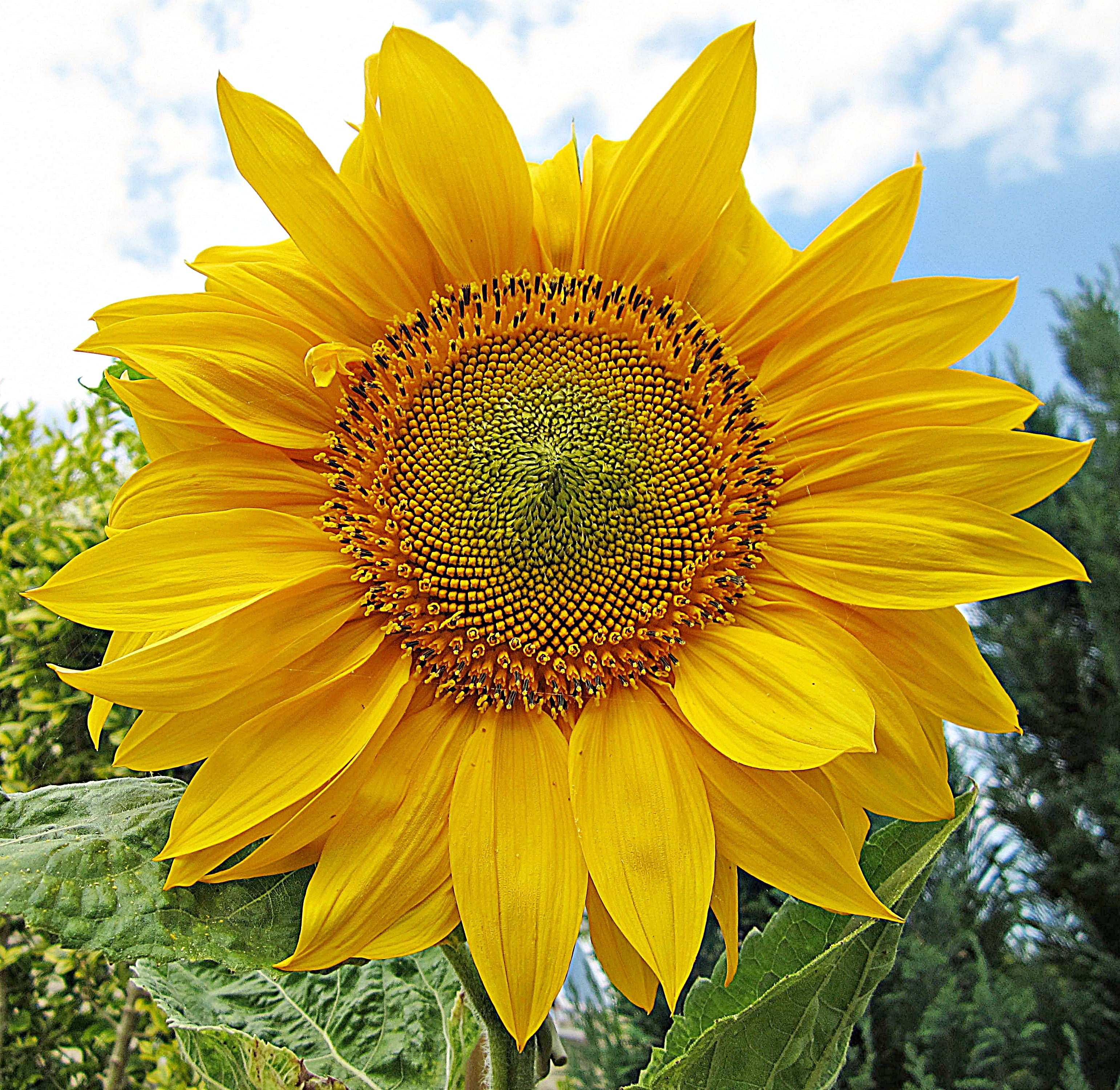 Sunflower So Vibrant They Re Just Like A Mini Sun Sunflower Pictures Outdoor Plants Plants