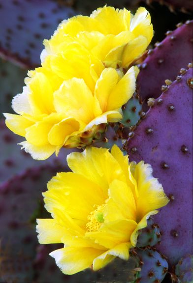 The beautiful rose like blooms of the prickly pear... (Santa Rita Prickly Pear, AZ) The prickly pear cactus is edible from the petals of the flowers, to the pads, to the pear.
