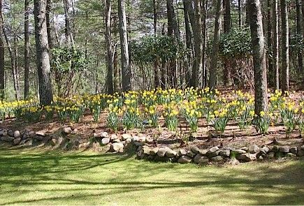 daffodils under trees w/ rock border Garden! Pinterest Rock