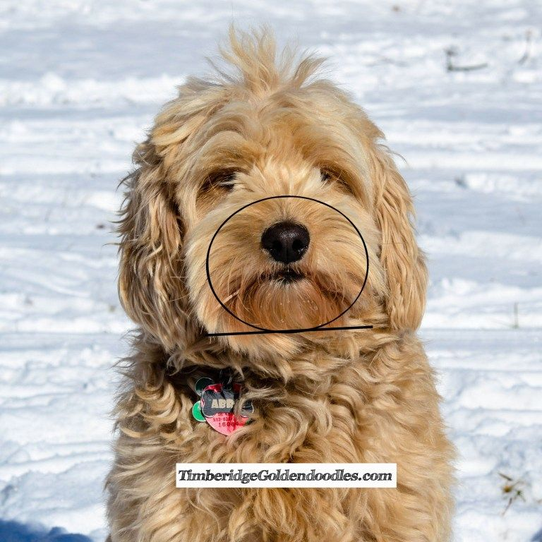 How To Trim A Goldendoodle's Face Yourself Timberidge