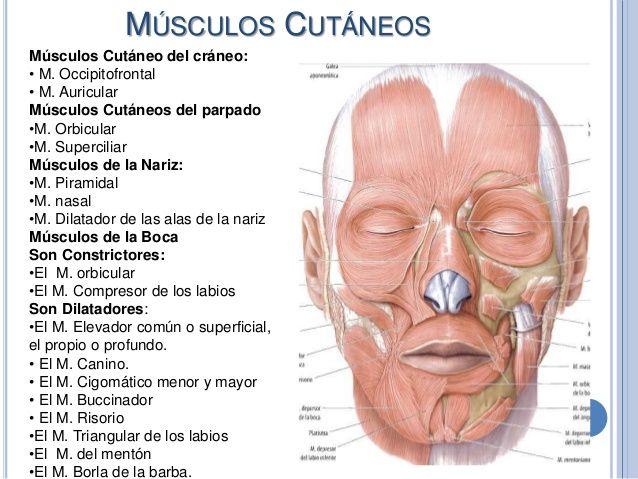 Músculos superficiales y Profundos de la cara | Cirugia ...
