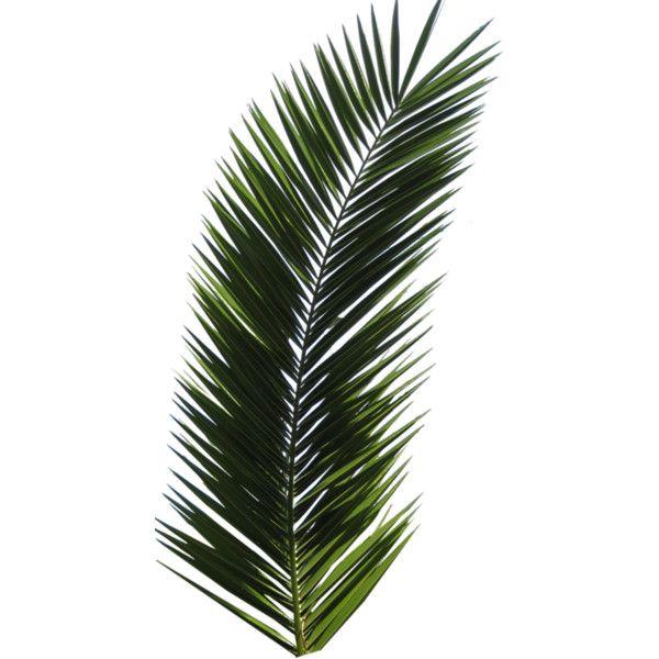 Palm Trees Png 781 Png Palm Tree Png Palm Trees Polyvore