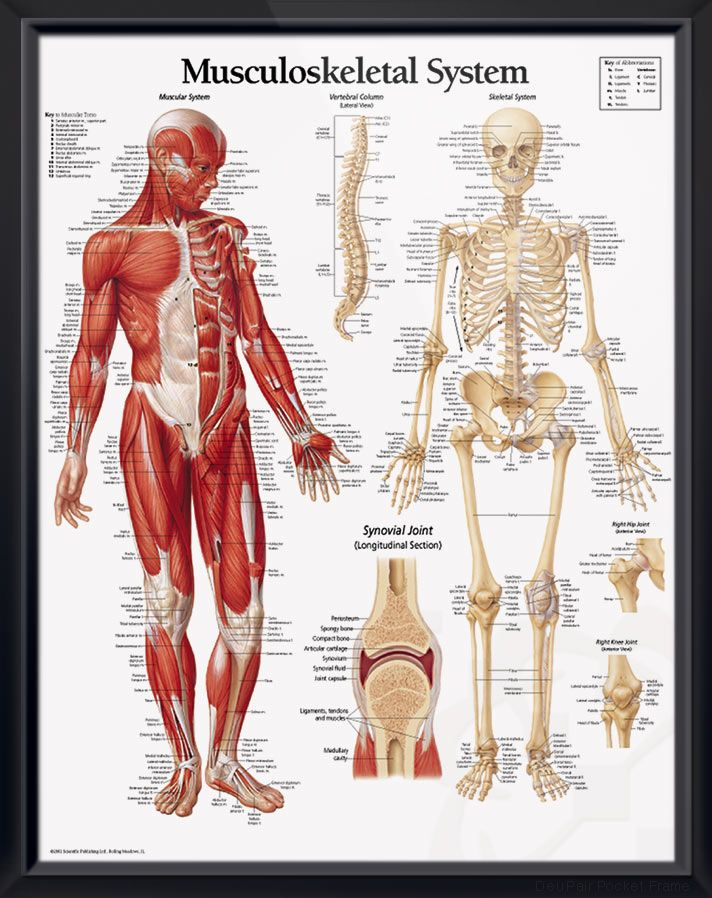 musculoskeletal system anatomy poster labels anterior views of both the muscular and skeletal systems skeleton chart for doctors and nurses