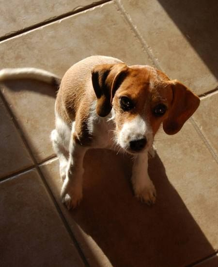 Josie The Beagle Jack Russell Mix Beagle Mix Puppies Beagle