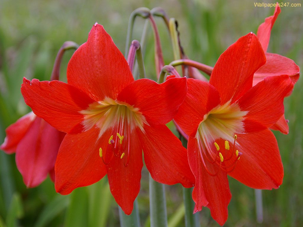 Flowers Wallpapers Red Lilies Flowers Wallpapers Lilies Pinterest