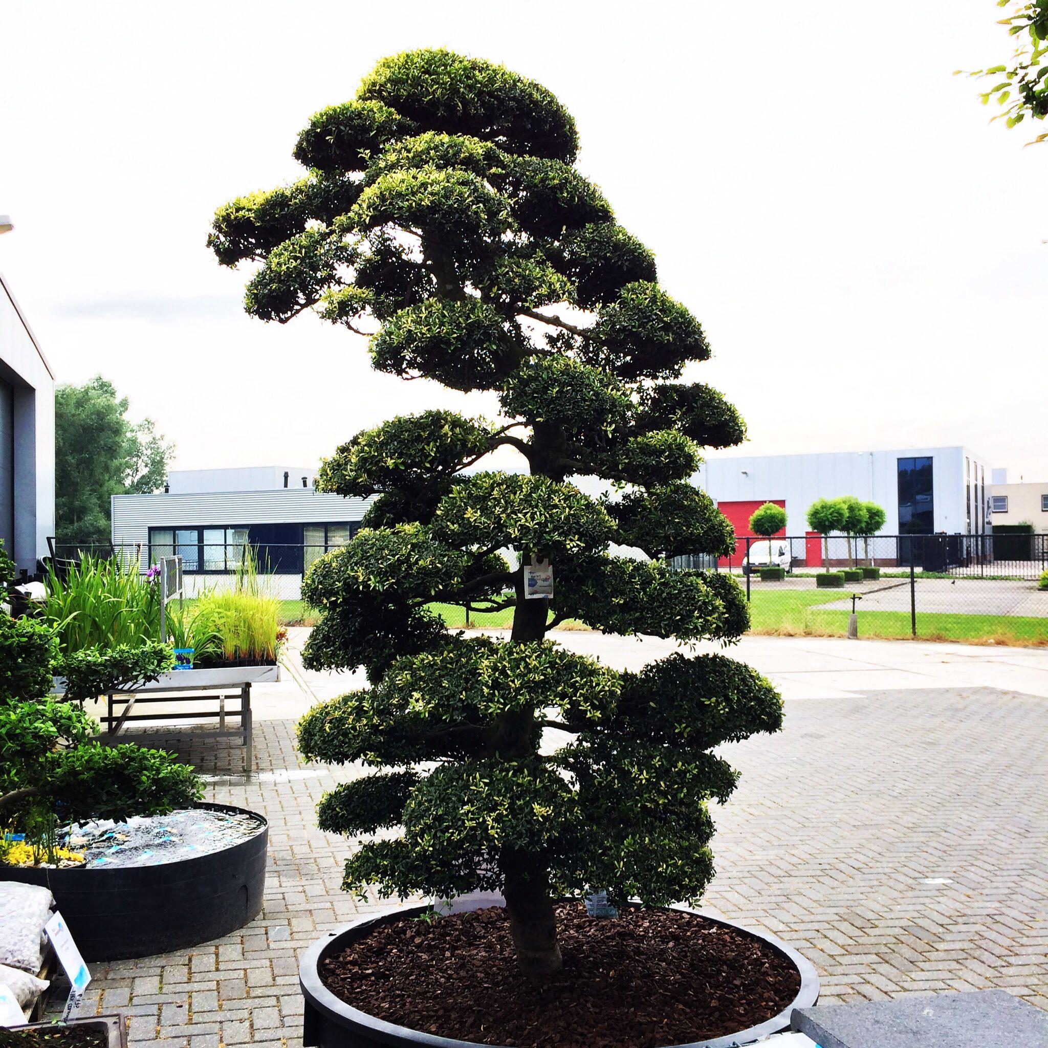 Exclusieve Japanse Ilex Crenata Jardin Japonais Arbre Jardinerie