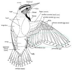 Diagram Of A Bird S Wings Bird Sculpture Bird Drawings Wing Anatomy