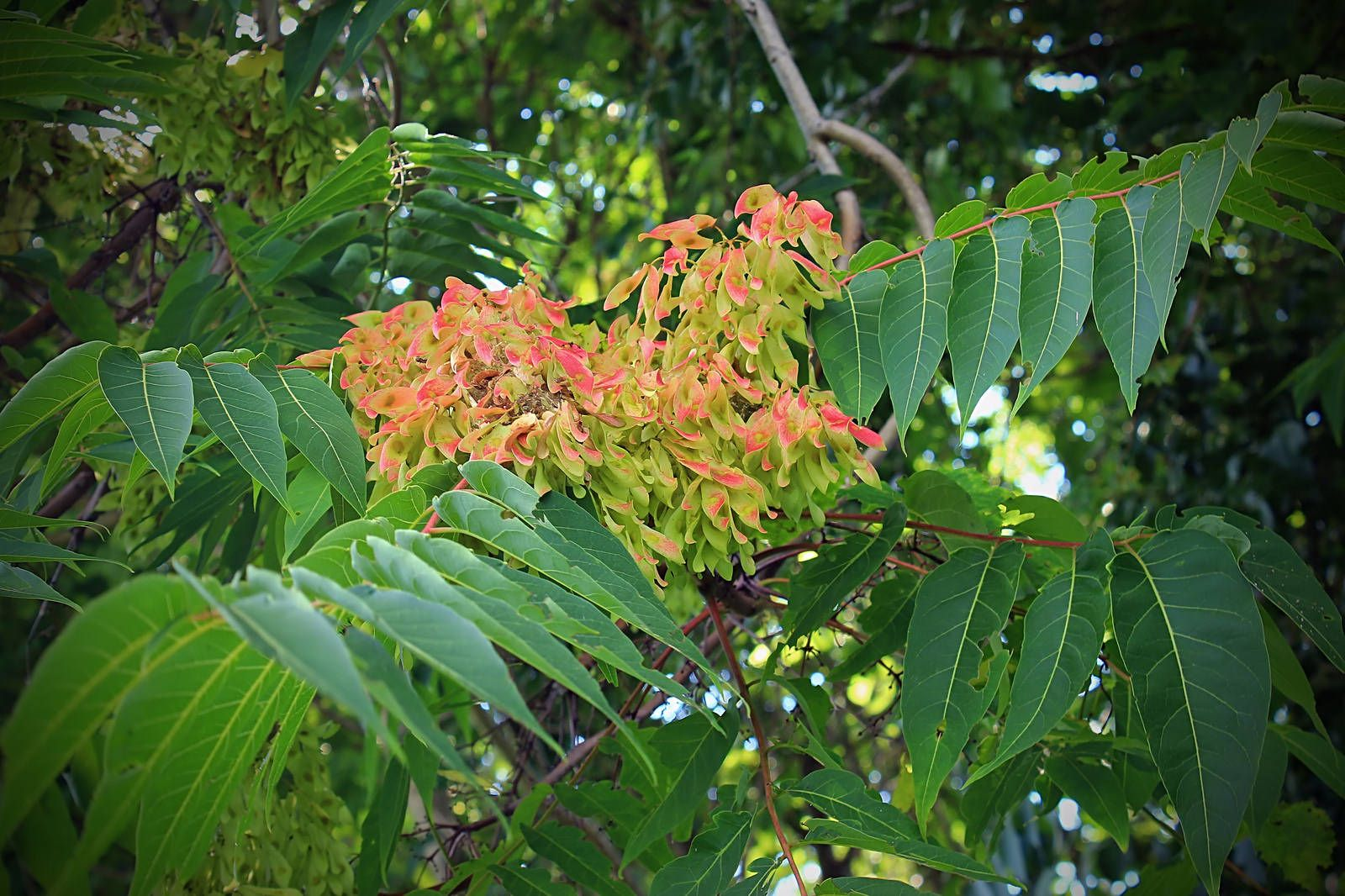 Ailanthus Altissima Plants For Sale Mail Order Or Buy At The Nursery