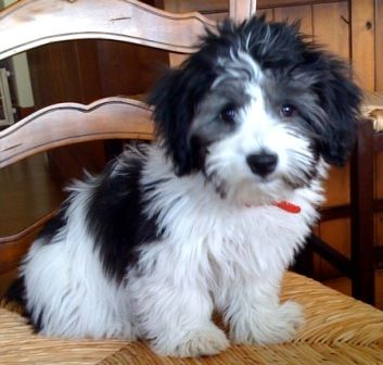 Havanese puppy. This looks like our fur baby Bandit