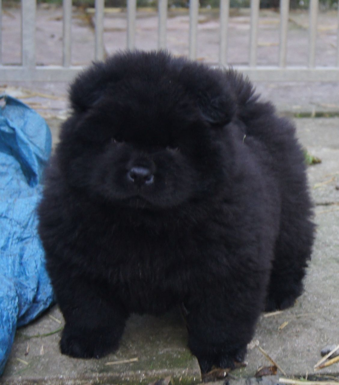 Best Images Photos And Pictures Ideas About Chow Chow Puppies