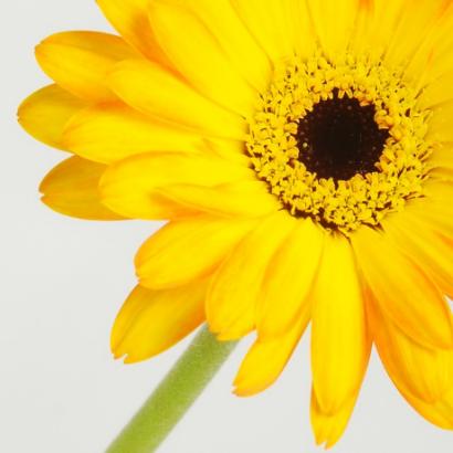 Yellow Gebera