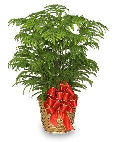 Small Indoor Pine Trees Norfolk Island Pine Holiday