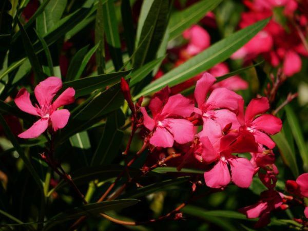 warum der oleander gelbe bl tter bekommt ursachen und pflege mediterrane pflanzen pflanzen
