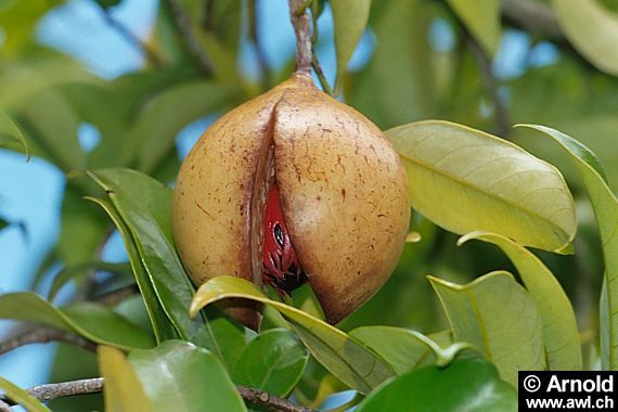 Heilpflanzen Muskatnuss Myristica Fragrans Pflanzen Exotische Pflanzen Heilpflanzen