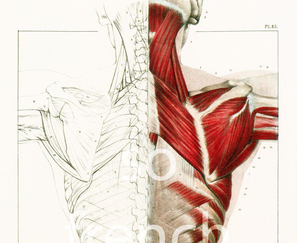 29X40cm Planche Anatomique Muscles du Dos Corps Humain Bourgery ...