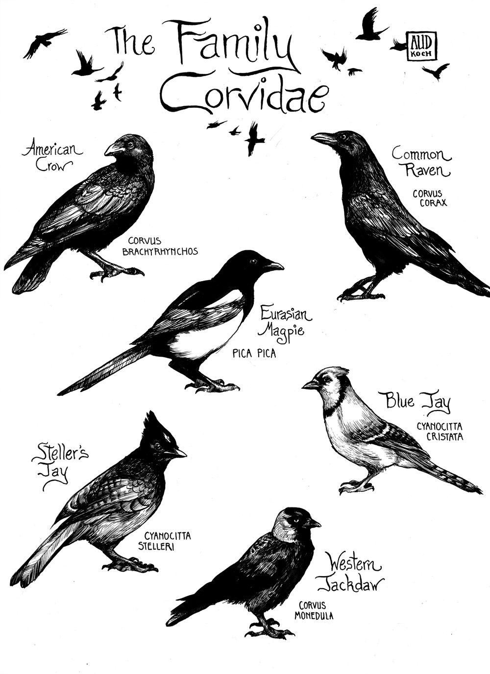 vaspider: aud-works: I love the birds of the family Corvidae ...