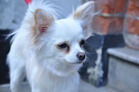 White Long Haired Deer Head Chihuahua With Images Chihuahua