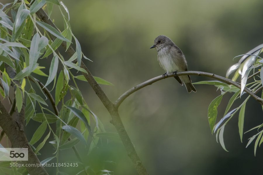 Spotted flycatcher by agriinari. Please Like http://fb.me/go4photos and Follow @go4fotos Thank You. :-)