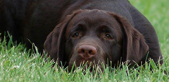 Cinnamire Labrador Retrievers English Labrador Breeder North Carolina Labrador Retriever Labrador Breeders Lab Puppies