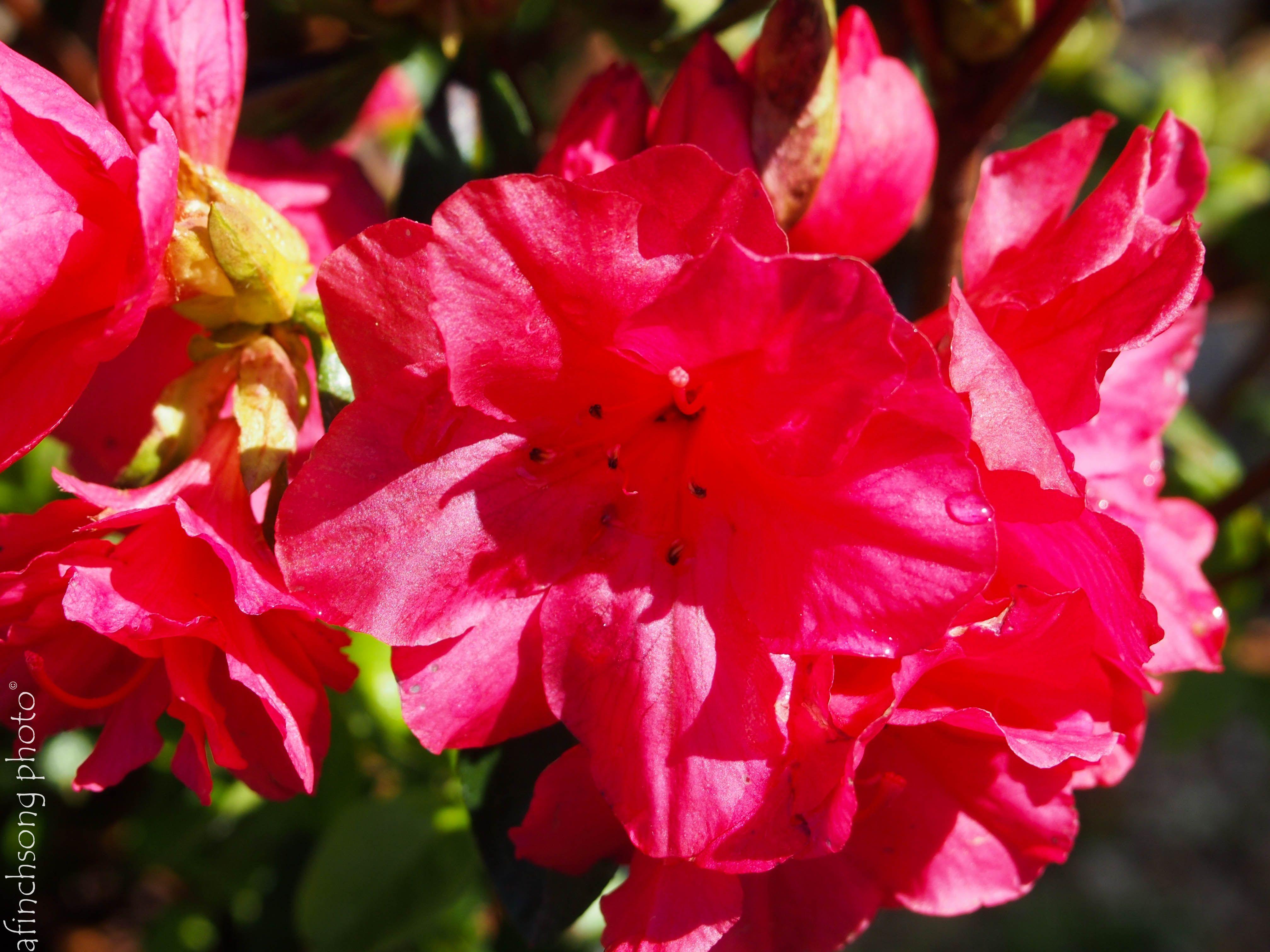 Azalea Kurume Hershey S Red Hershey Red Azalea Flowering Evergreen Shrub Part Sun Size In 10 Years 3h X5 W Dense Moun Azalea Flower Evergreen Shrubs Azaleas