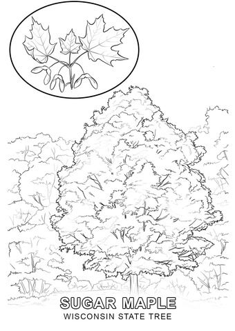 Wisconsin State Tree Coloring Page From Category Select 24858 Printable Crafts Of Cartoons