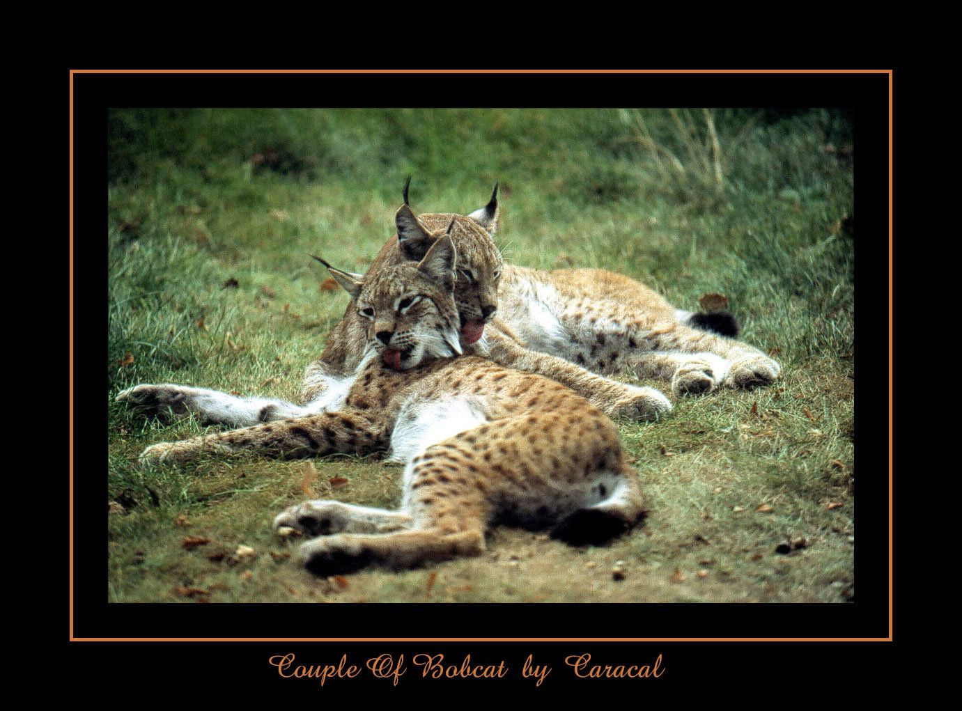 3aec96fd145c55c5c1776cca377d775b couple of bobcat by caracal lynx and bobcat pinterest
