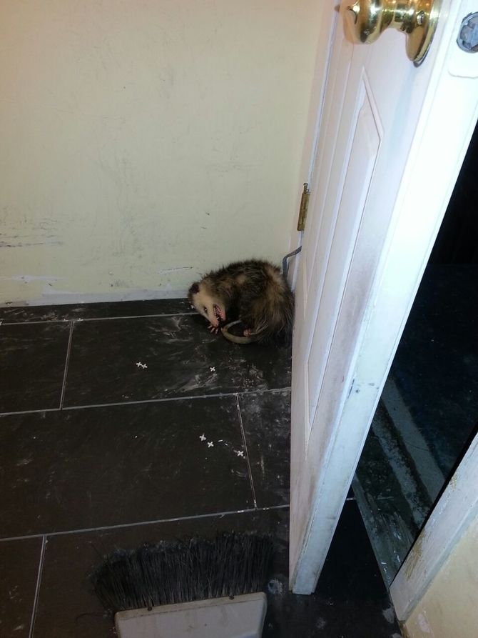 How to Get Rid of Possums | Possum, Aggressive animals ...