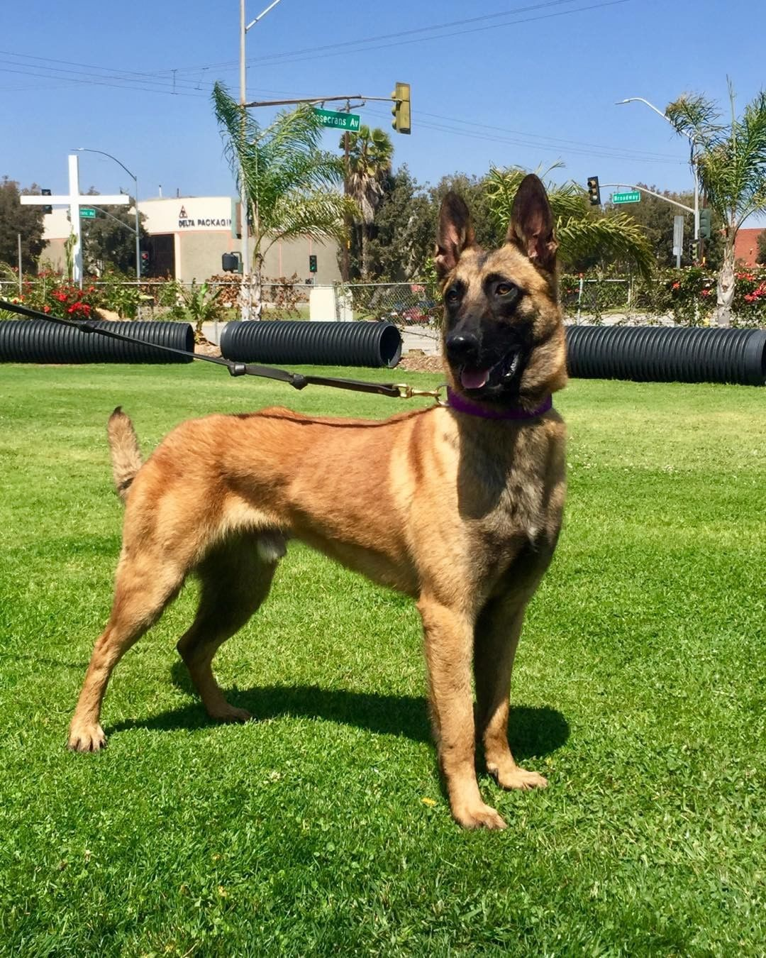 Our Personal Family Protection Belgian Malinois Bullet Available