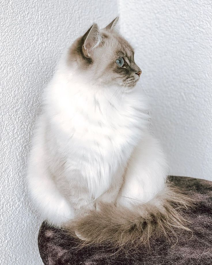 Good free of charge ragdoll cats blue suggestions good