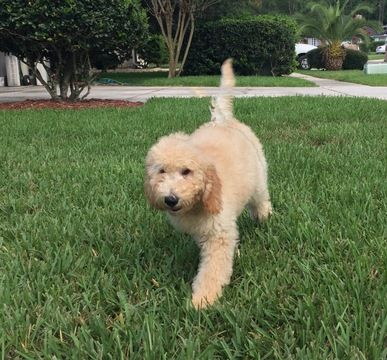 Goldendoodle Puppy For Sale In Jacksonville Fl Adn 35220 On