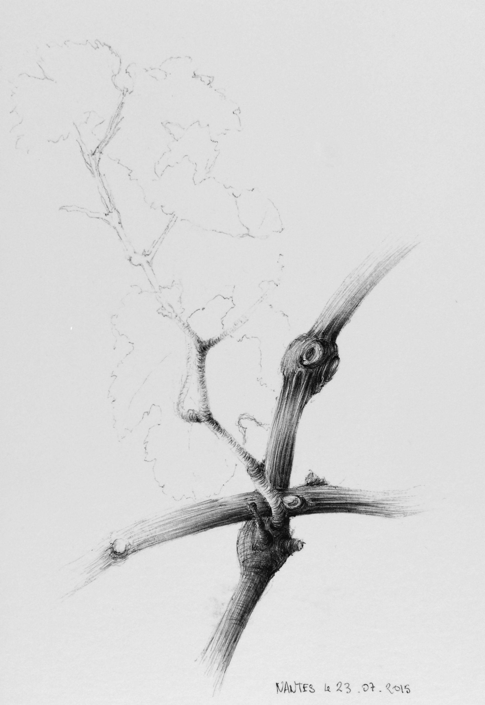 Cours D Illustration Botanique Societe Nationale D Horticulture