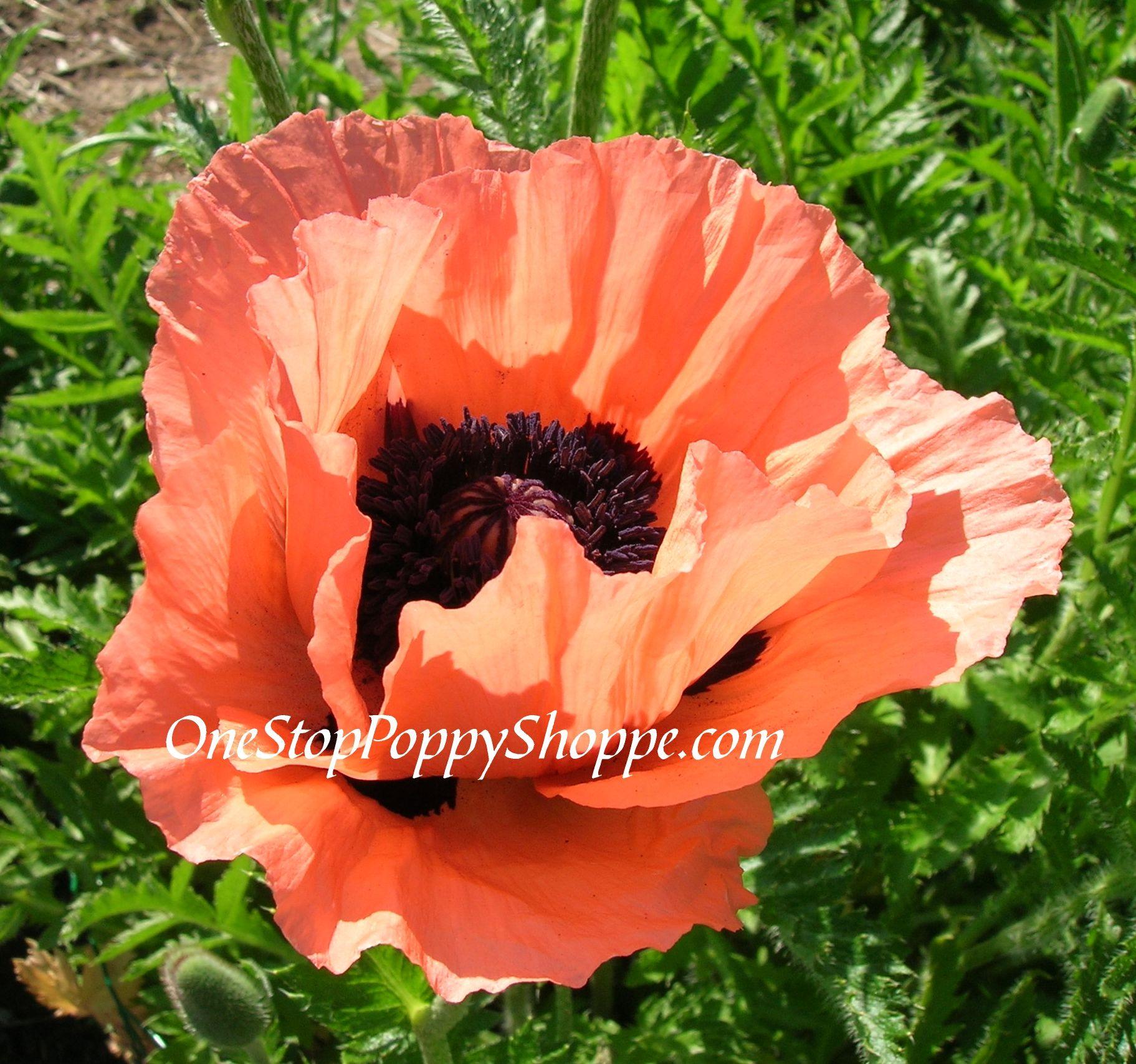 Oriental Poppy Flower Seeds Coralreefdg1g Flowers Pinterest