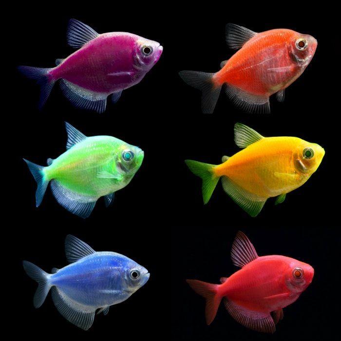 Glofish Tetra Glow Fish Glofish Aquarium Fish