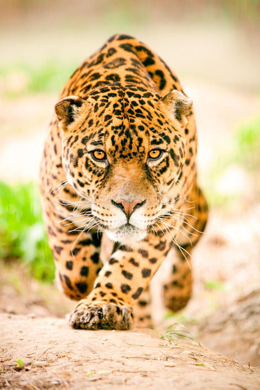 Do You Know The Weight Of A Jaguar Can A Human Lift It Animals Dangerous Animals Leopard Animal