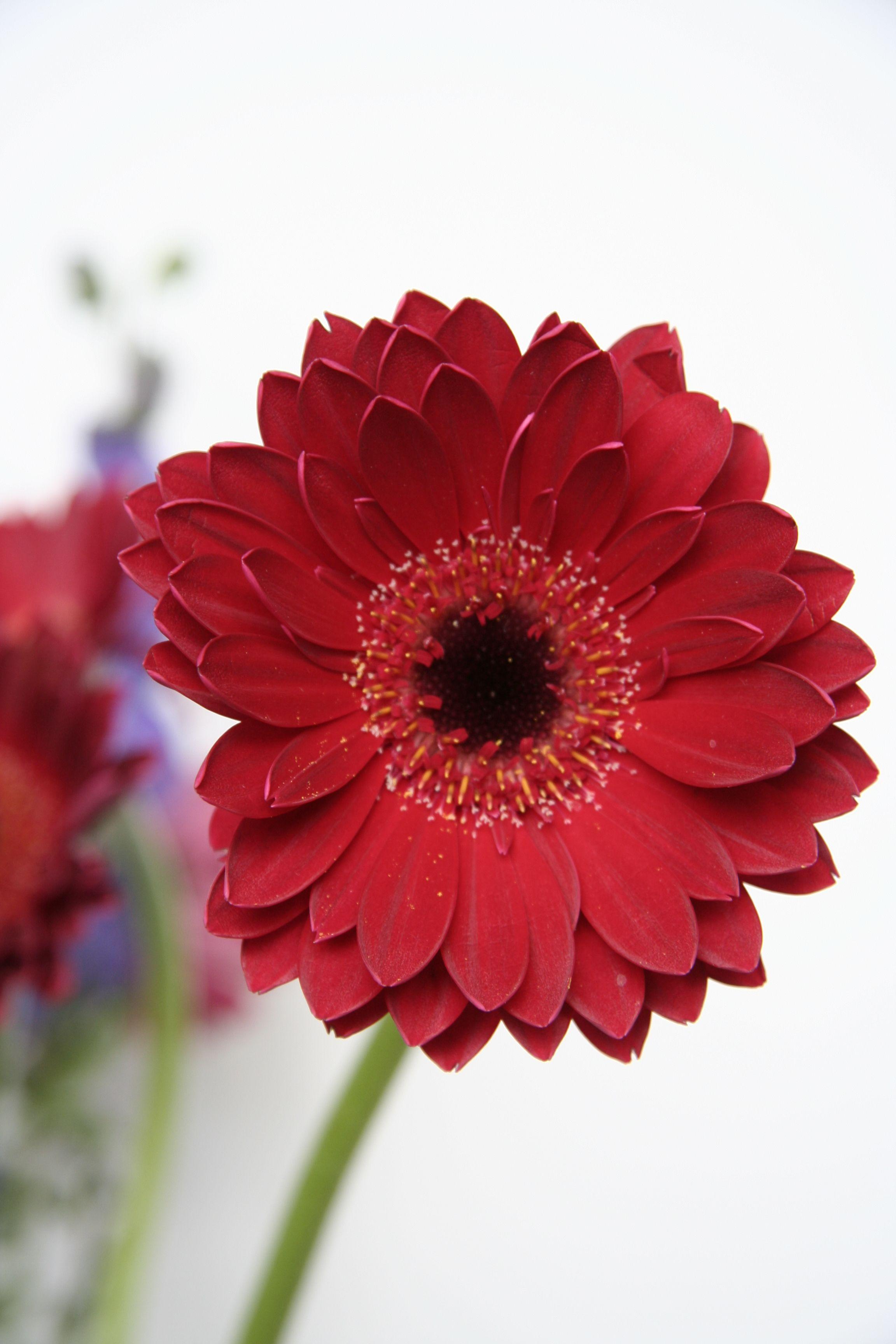 Como Cuidar Gerberas Gerberas Como Cuidar Las Plantas Papel Pintado Flores