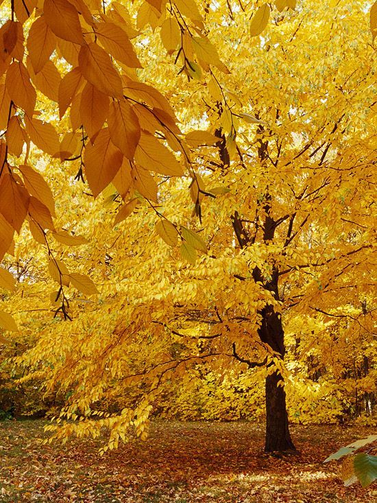 Trees and Shrubs for Adding Fall Color to Your Yard Sweet Birch  A beautiful tree, we love sweet birch for its cinnamon-colored peeling bark and triangular dark green leaves that turn beautiful golden-yellow in fall.  Name: Betula lenta  Growing Conditions: Sun to shade and moist, well-drained soil  Size: To 50 feet tall  Zones: 3-7  Nati