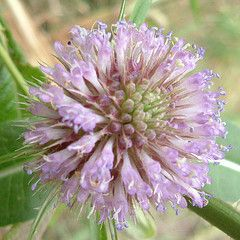 Scabious Flower by Charente River, Cognac Region of South West France @ 12 August 2010 (Kam Hong. Leung)