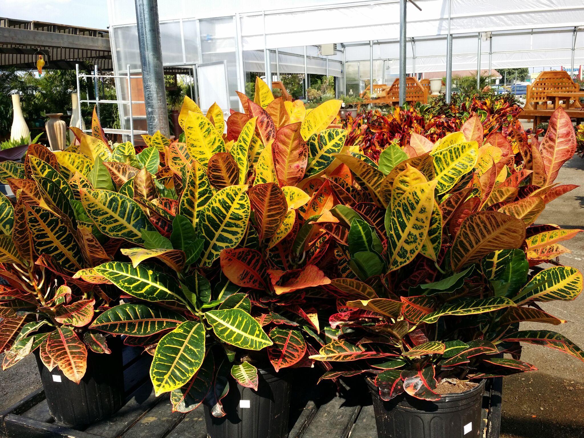 Colorful Crotons Southern garden, Garden center, Garden